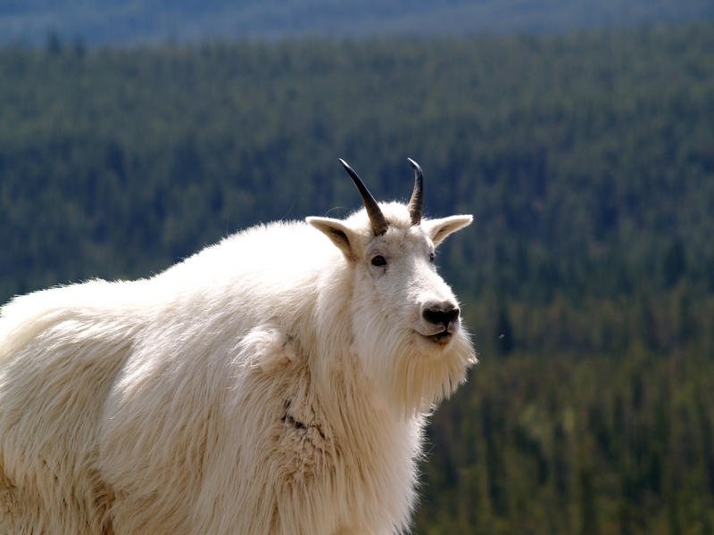 Mountain Goats are not native to the Olympic Peninsula. The Parks Service is deciding how to manage the population.