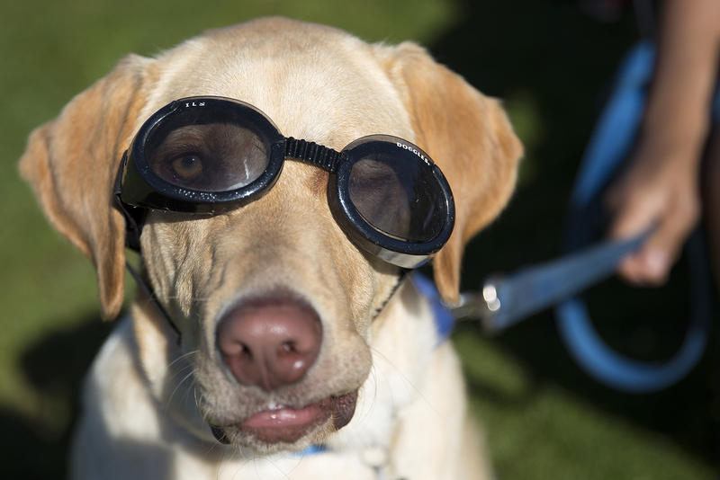 Simon, a yellow lab, wears a pair of