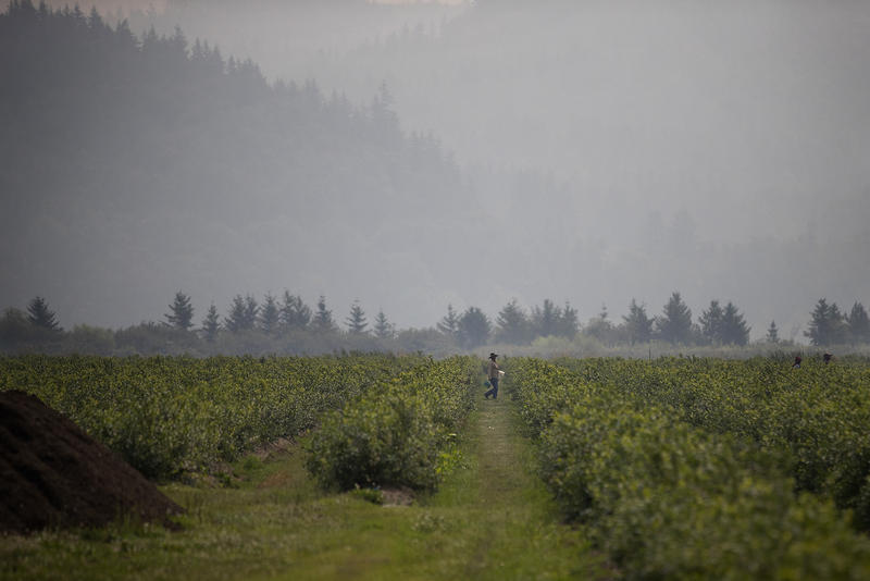 A farmworker walks through blueberry fields on Wednesday, August 8, 2017, at Sarbanand Farms on Rock Road, in Sumas, Washington. H-2A farm workers protested working conditions after their coworker, Honesto Silva Ibarra, died on Sunday.