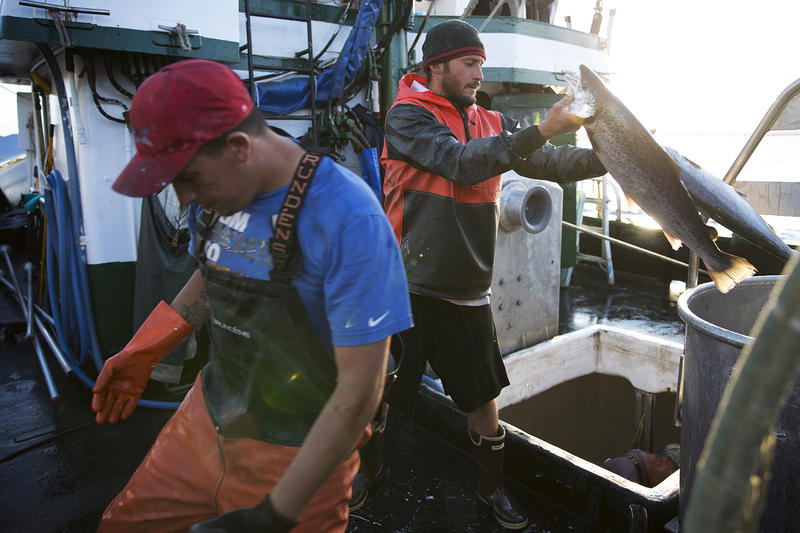 Aboard fishing vessel Marathon, Nathan Cultee, right, and Nicholas Cooke, left, unload 16 farm-raised Atlantic salmon into a container after a day of fishing on Tuesday, August 22, 2017, at Home Port Seafood in Bellingham.