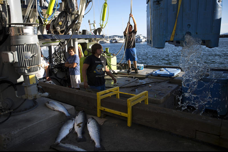 Eric Landsen, right, raises a container of wild Pacific salmon after tossing 5 farm-raised Atlantic salmon aside, bottom left, after a day of fishing on Tuesday, August 22, 2017, at Home Port Seafoods in Bellingham.