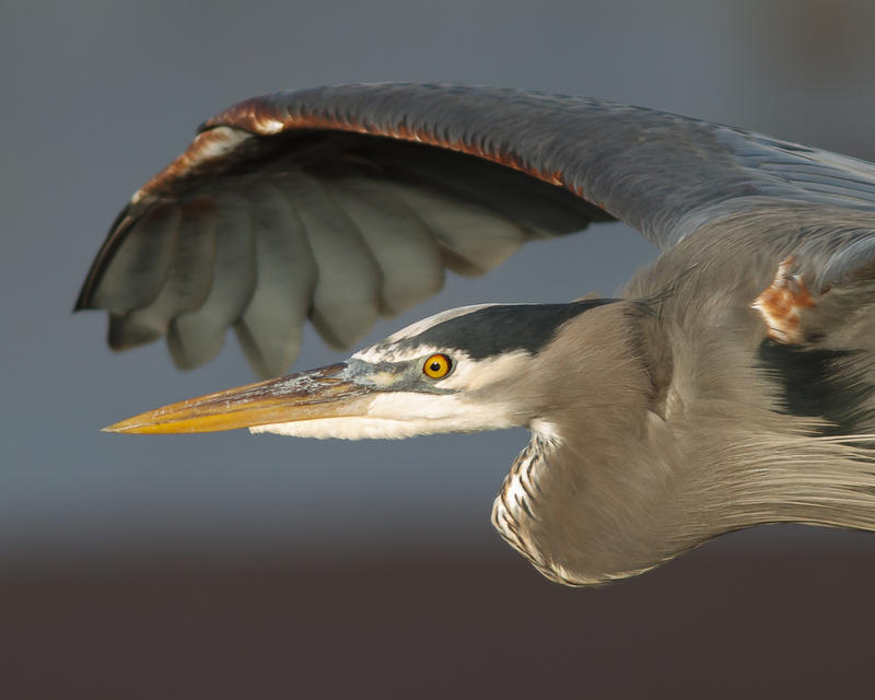 Great blue herons colonize in groups of about 32. Each couple has four eggs at a time.