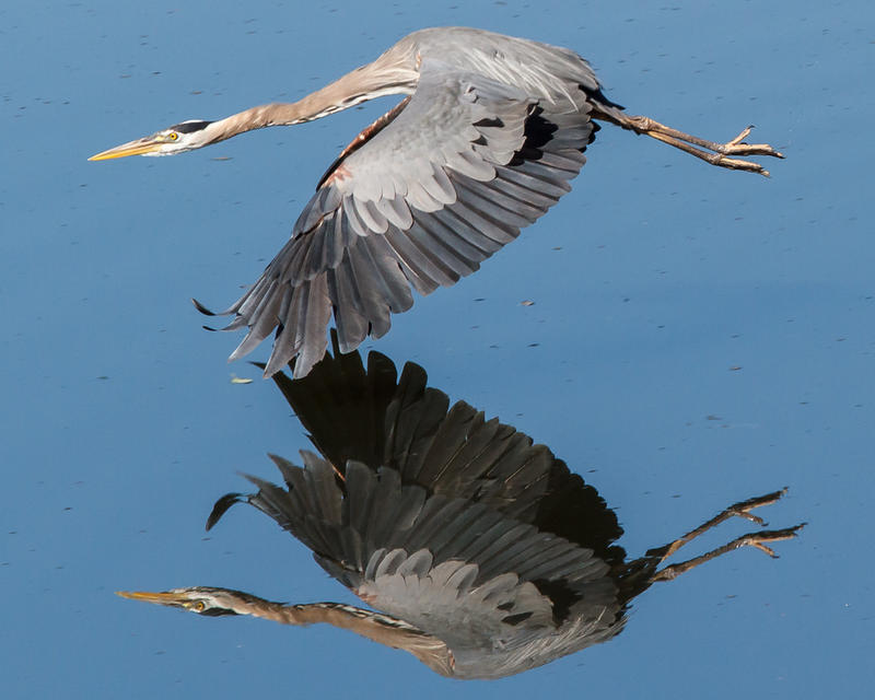 The ten acres are home to one of only two heron colonies in Thurston County.