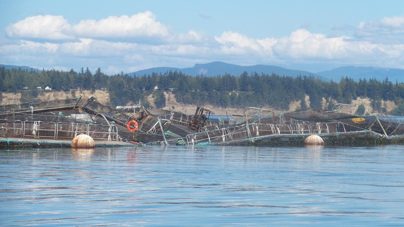 A forklift teeters amid the wreckage of a Cooke Aquaculture salmon farm on Aug. 19