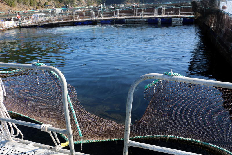 Atlantic salmon swim above a bird-control net damaged in a burglary