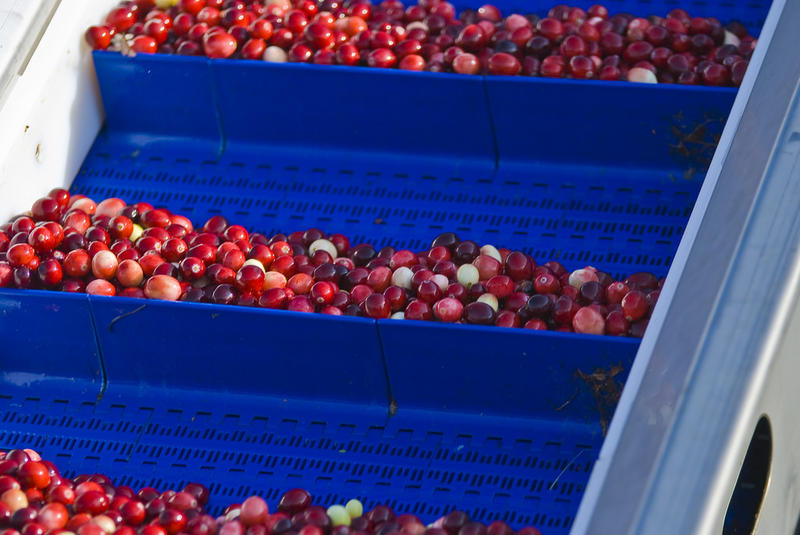 Cranberries make up a huge part of Pacific County's economy. The industry's workforce is being disrupted by immigration arrests and deportations.