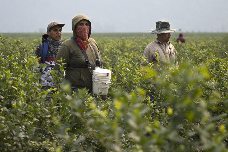 Workers at Sarbanand Farms picking blueberries on August 8, 2017, in Sumas, Washington.