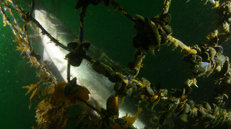 Mussels cling to netting of a collapsed Atlantic salmon farm off Cypress Island on Aug. 24, 2017.
