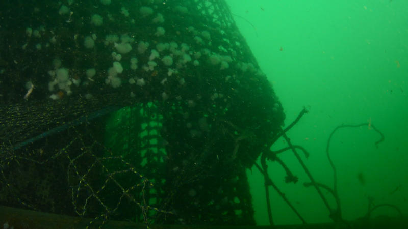 Broken mooring lines and anemone-covered netting of a collapsed Atlantic salmon farm off Cypress Island on Aug. 24, 2017.