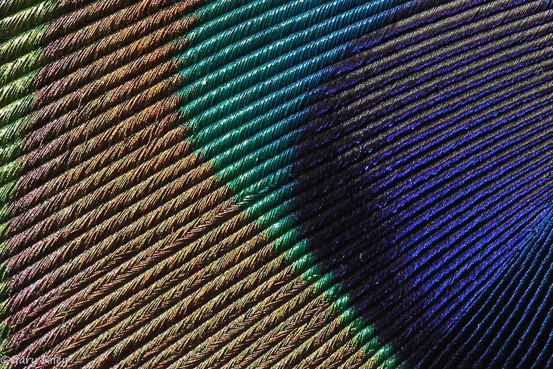 Closeup of a peacock feather.