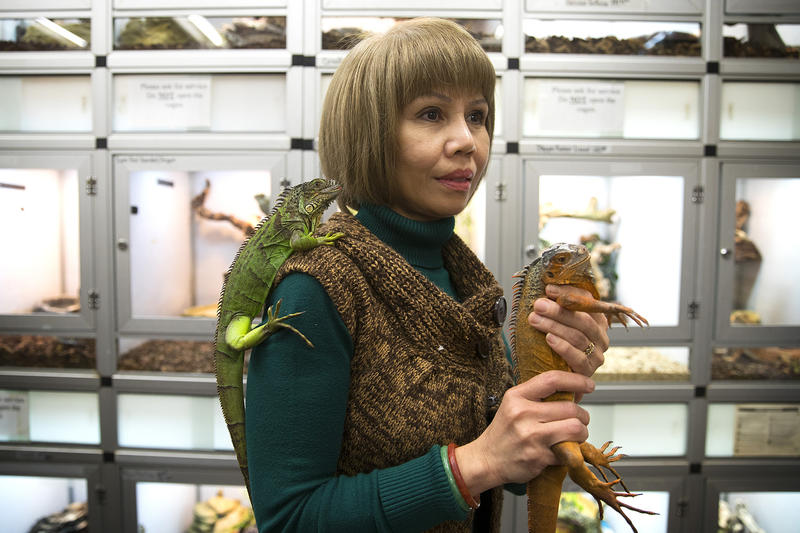 Owner of Little Amazon, Linh Nguyen, holds iguanas on Monday, Feb. 26, 2018, in Seattle.