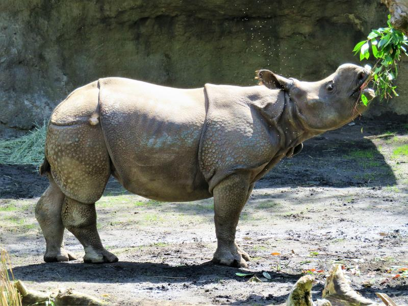 Taj is one of two rhinos that are the first to ever live in western Washington.