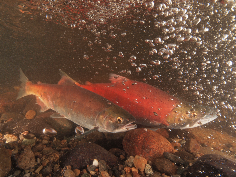 Kokanee spawning in Ebright Creek near Lake Sammamish