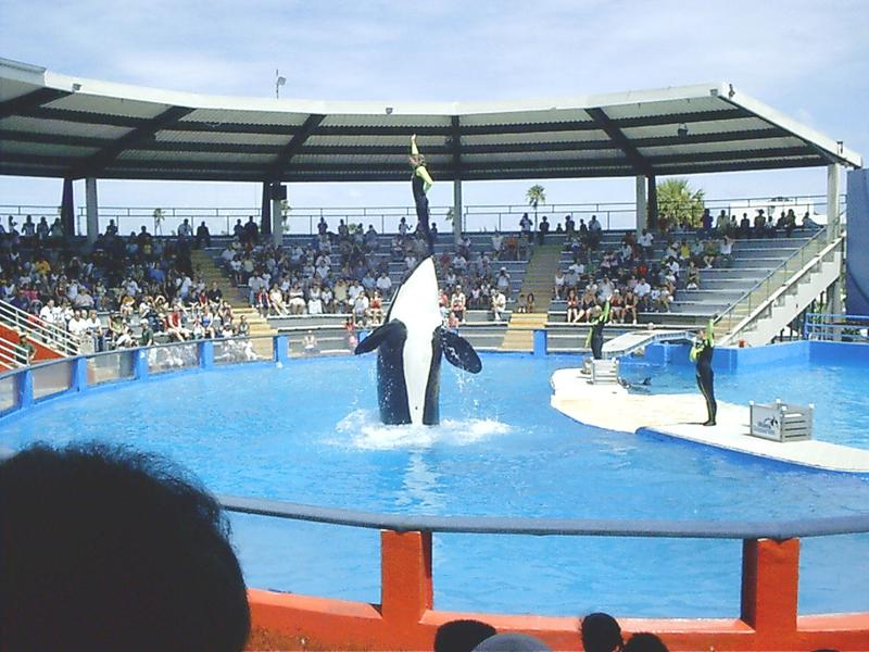 Lolita at the Miami Seaquarium orca show, 2006.