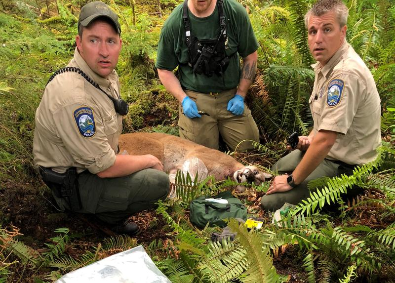 The cougar who killed SJ Brooks while they were mountain biking over the weekend.