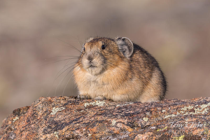American pika in Rocky Mountain National Park.