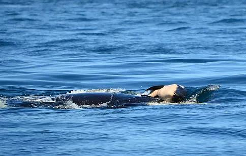 Orca whale, Tahlequah or J35, carrying her dead calf