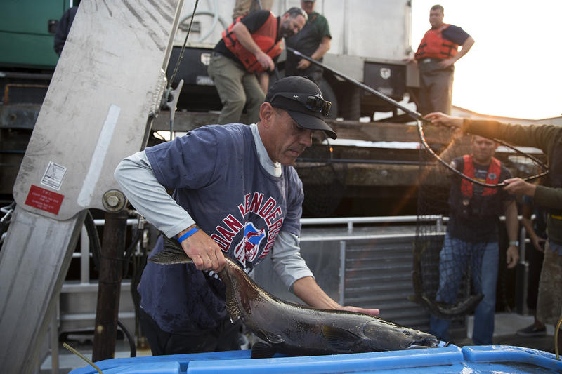 Lummi Tribal Chairman Jay Julius loads live chinook salmon onto King County Research Vessel SoundGuardian in Squalicum Harbor on Friday, August 10, 2018. (Image taken under the authority of NMFS MMPA/ESA Permit No. 18786-03)