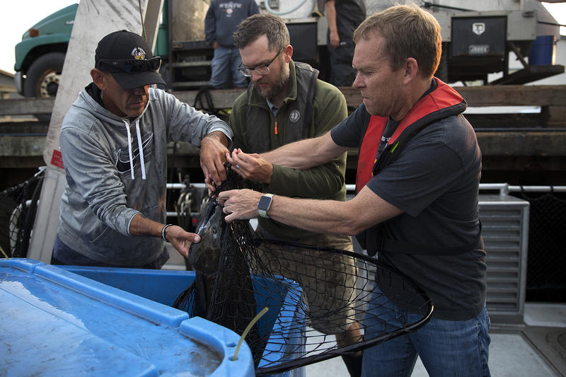 From left, Lummi Tribal Chairman Jay Julius, Christopher Barnes, and Bob Kruger load live chinook salmon onto the SoundGuardian on Friday, August 10, 2018, at Squalicum Harbor. (Image taken under the authority of NMFS MMPA/ESA Permit No. 18786-03)