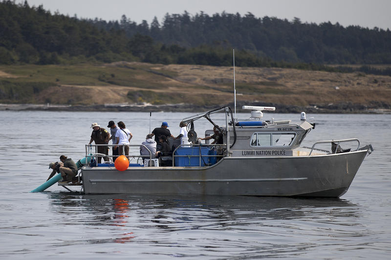 Live chinook salmon are released into the water during a test with researchers aboard the Lummi Nation police boat on Friday, August 10, 2018. (Image taken under the authority of NMFS MMPA/ESA Permit No. 18786-03)