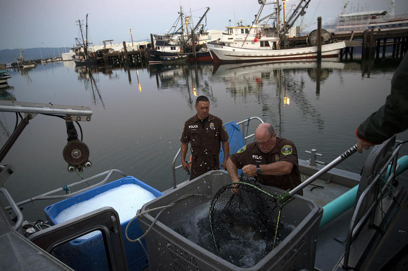 Lummi Nation NRO officers Aaron Hillaire and Bill Storie load live chinook salmon onto the Lummi Nation police boat on Friday, August 10, 2018, at Squalicum Harbor. (Image taken under the authority of NMFS MMPA/ESA Permit No. 18786-03)