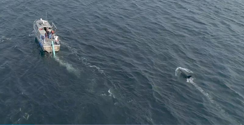 Drone image by National Oceanic and Atmospheric Administration of the J50 feeding effort