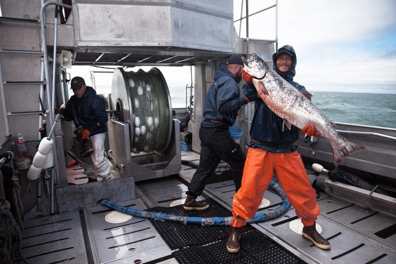 King salmon at Bristol Bay in Alaska, 2013. These are the salmon that orcas eat, the type that Puget Sound killer whales rely on almost exclusively. Their dwindling numbers have hurt this particular orca population.