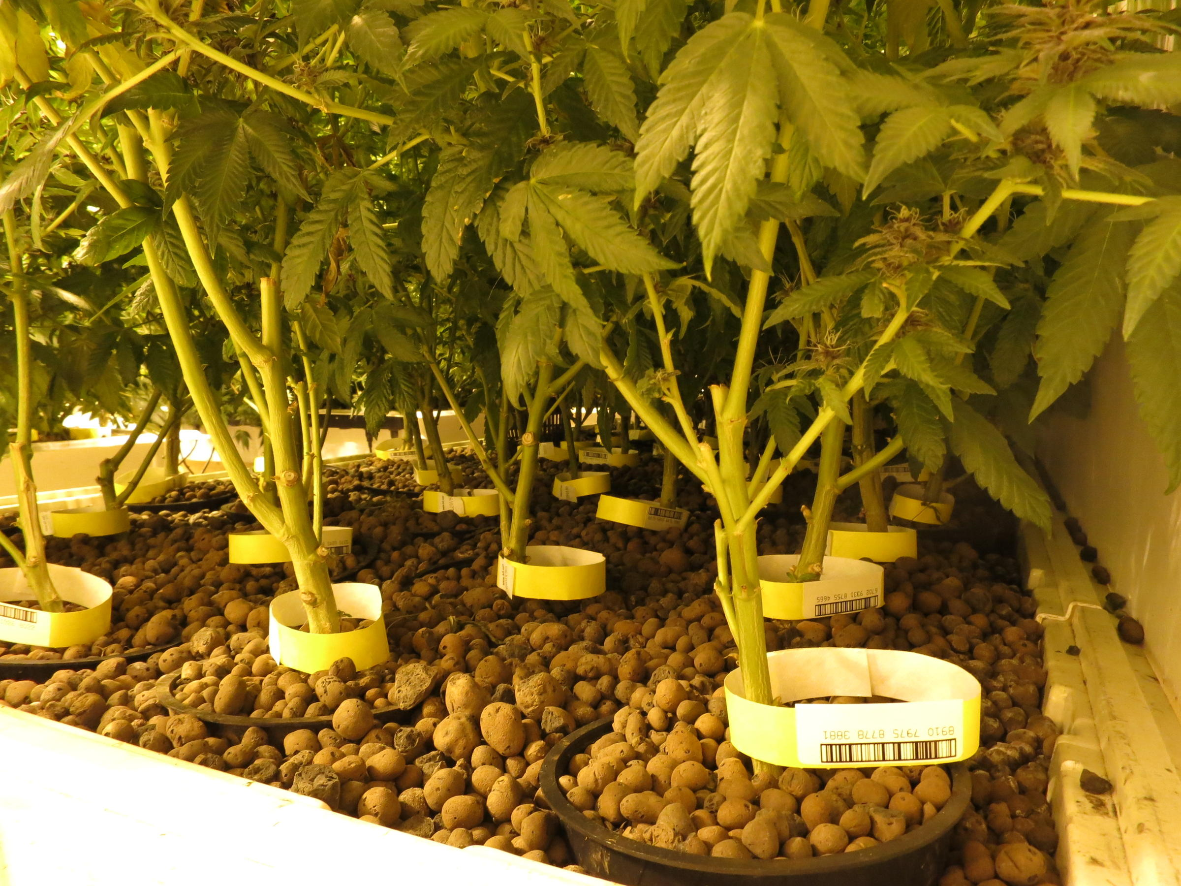 Inside Seattle S First Legal Pot Farm Kuow News And