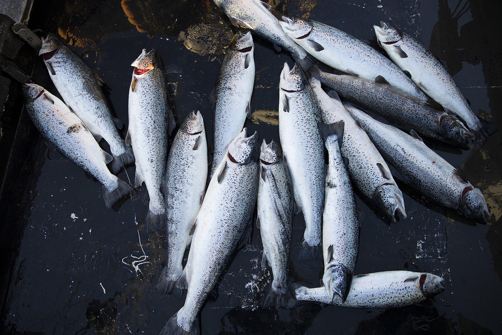 Officials try to blame eclipse, tides for Atlantic salmon ... Atlantic Salmon Parasite