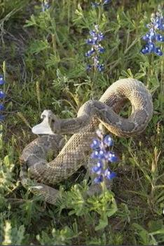 An expert says this snake's neck position is a sign it's stuffed - not alive.