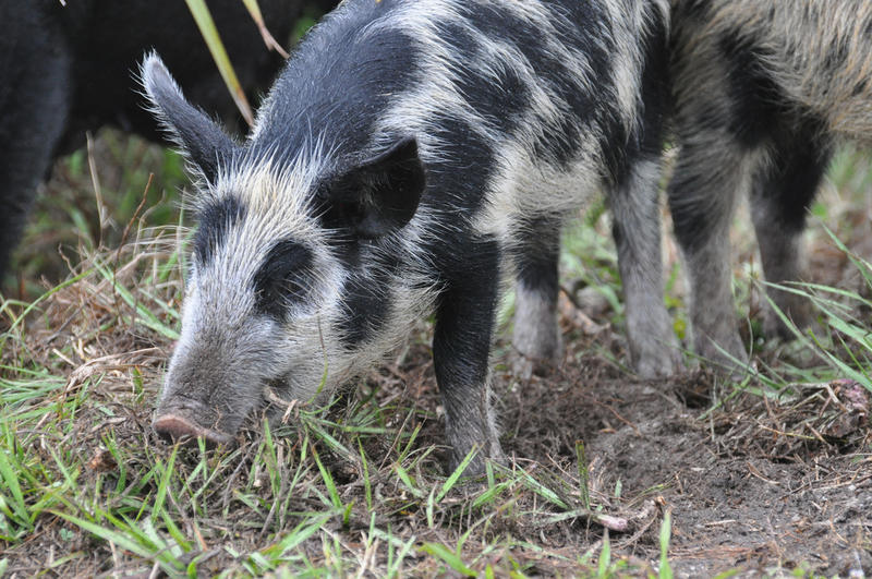 The Texas Senate gave final approval to a bill today that would allow farmers to rent spaces in helicopters from which people could hunt feral hogs.