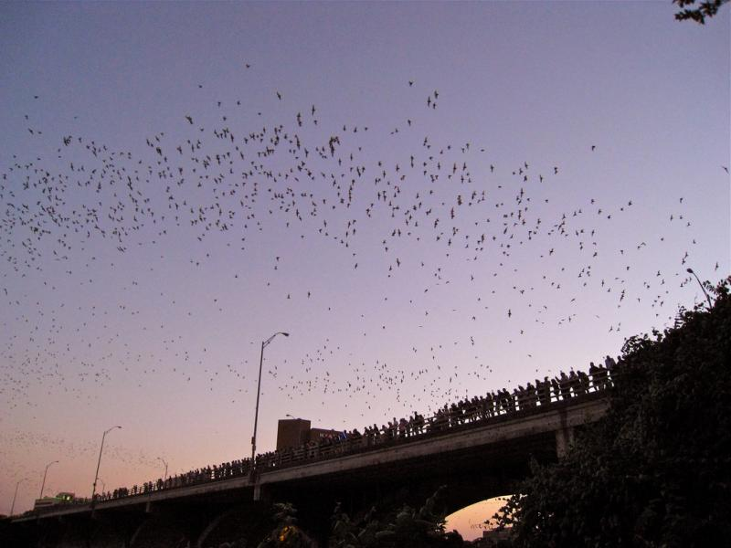 Bats exit from underneath the Ann Richards Congress Avenue Bridge at dusk