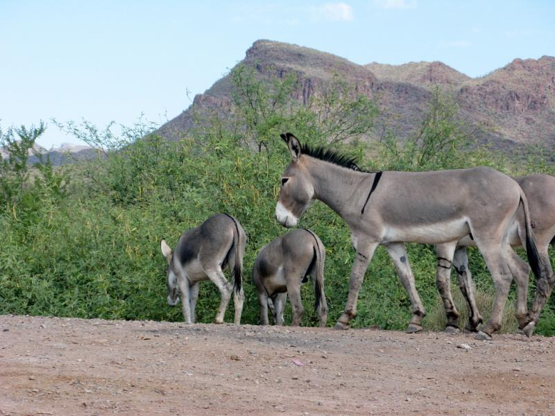 A photo of some burros in Arizona. Texas state parks officials have been shooting wild donkeys in Big Bend State Park to prevent them from damaging native species, angering the Wild Burro Protection League.