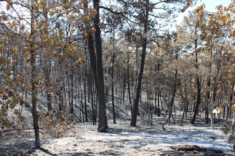 Officials are considering timber salvage from some of the trees destroyed by fire in Bastrop State Park last month.