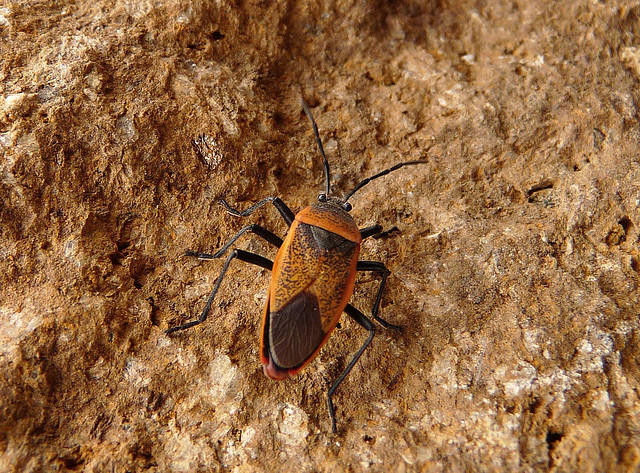 A triatomine bug, also known as a kissing bug, the main vector for spreading Chagas disease.