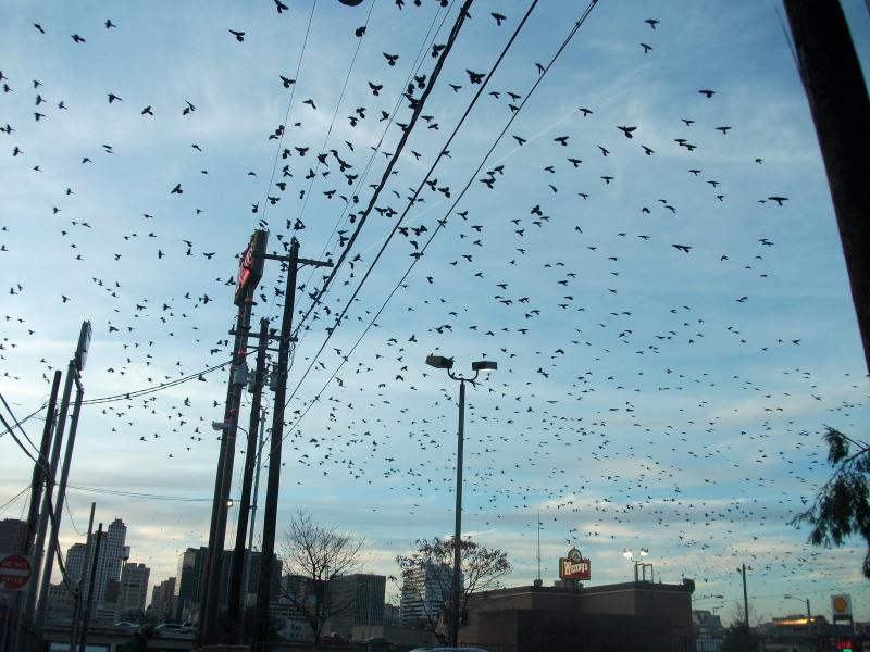 A flock of grackles swarms near I-35