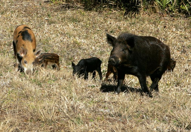 "These feral hogs are on the Texas ""most wanted list,"" according to Ag Commissioner Todd Staples."