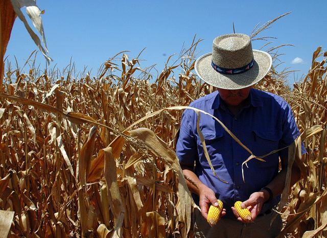 Texas corn suffered from drought in 2011, but conditions have eased somewhat in 2012.