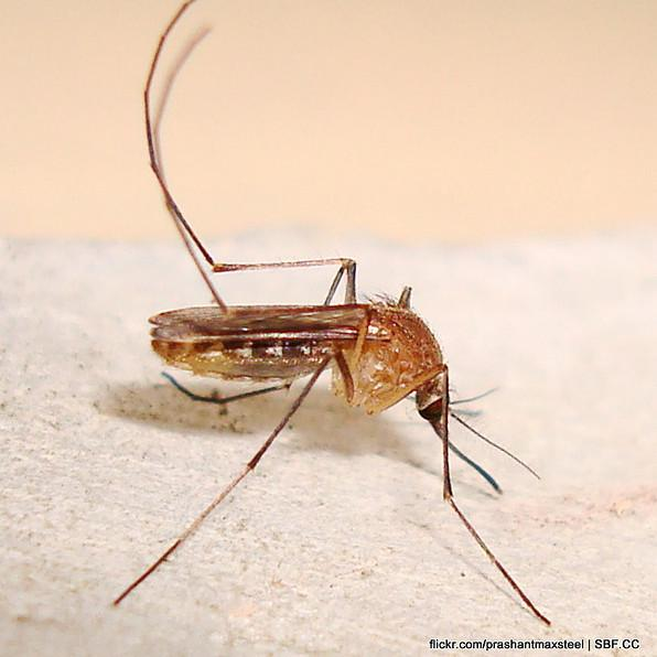 West Nile positive mosquitoes have been found in Austin, officials urge common sense precautions to prevent its spread to humans.