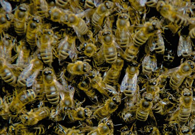 Rains this summer have boosted insect populations, including bees.