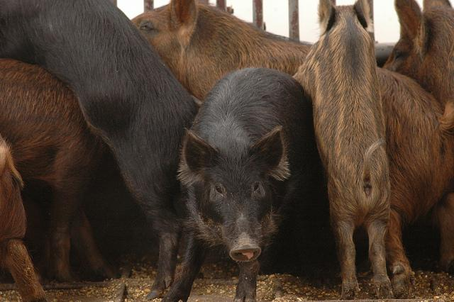 Feral Pigs are being blamed for crashes on the new stretch of SH 130.