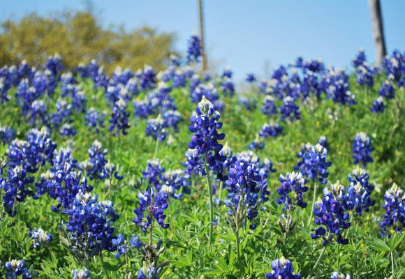 It could be a bad year for bluebonnets with the warm dry winter Central Texas has had.