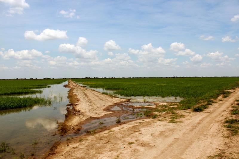 A rice farm in Columbus, Texas. LCRA action may result in more water for Austin and less for rice farmers.