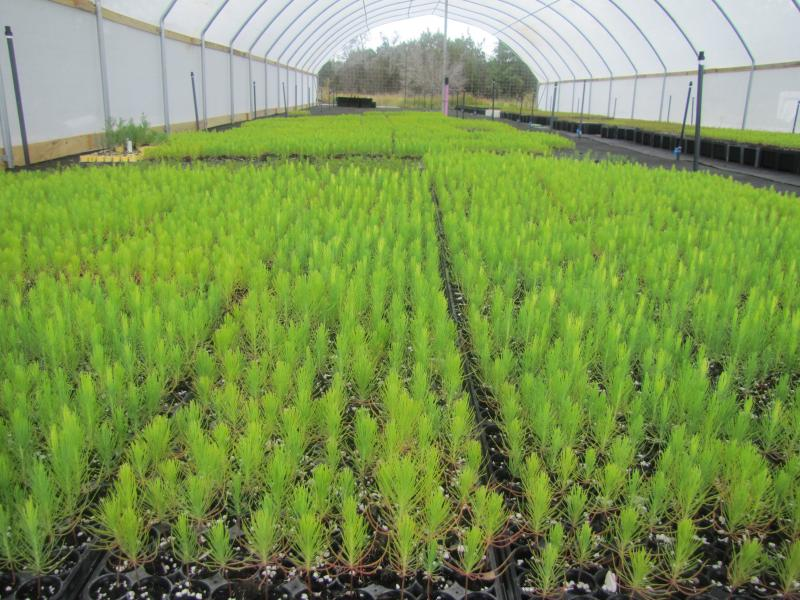 Thousands of loblolly pines being grown at the Lady Bird Johnson Wildflower Center.