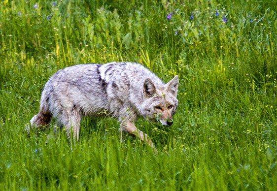 City of Kyle officicials believe coyotes may be the culprit in the deaths of three pets.