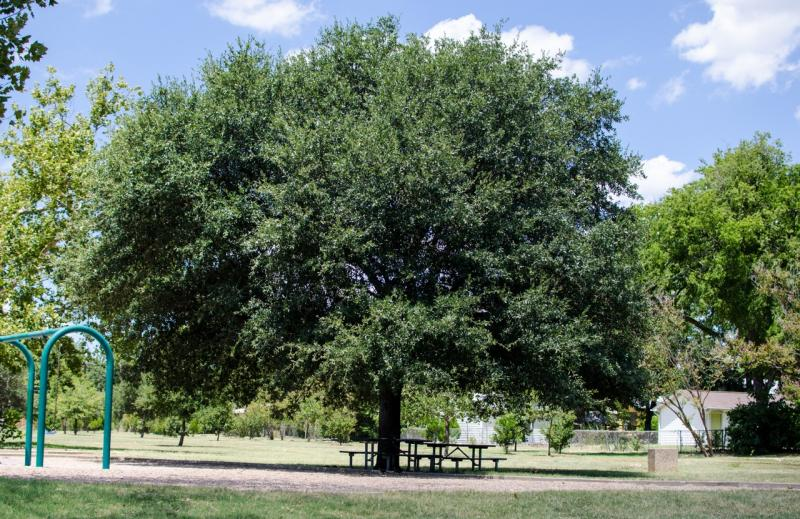 A healthy tree at Brentwood Park. With city help, several ailing trees there were returned to health.
