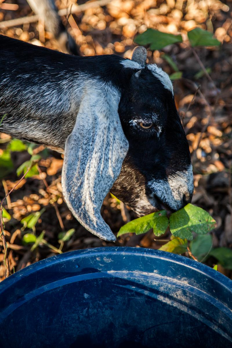 A Swede Farm goat chows down on some poison ivy at the SFC East Market.