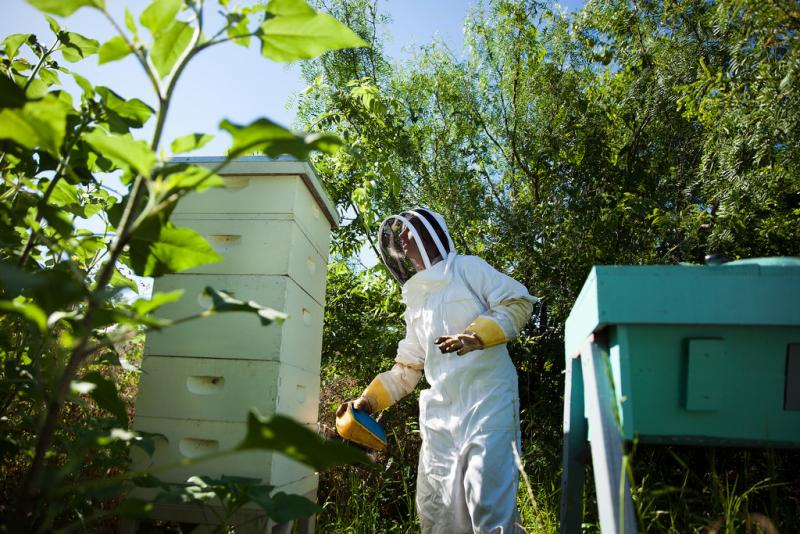 Beekeeper Lily Rosenman blows smoke on her hive to calm the bees.