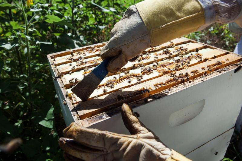 Rosenman uses a hive tool to pry loose the frames of the hive.