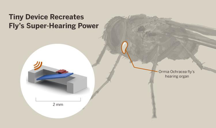 The 2-millimeter wide device, created by Professor Neal Hall and his group of graduate students, mimicks the Ormia ochracea fly's hearing ability. The diagram shows the seesaw-like mechanism in the fly.